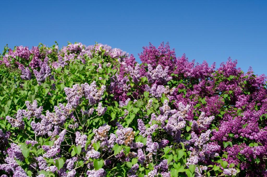mackinac island lilac festival