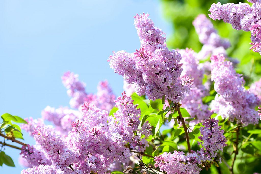 mackinac island lilacs